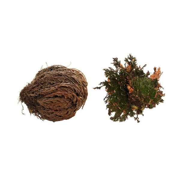 Lucky Reptile Rose of Jericho Live Plant