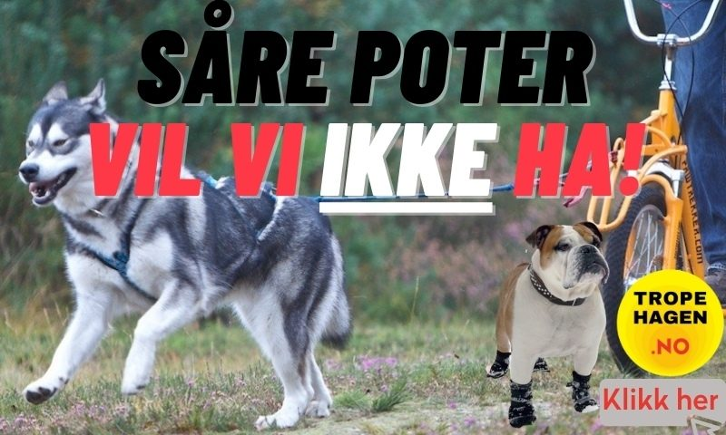 Såre hundepoter